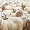 460 ton koyun sütü açık artırma ile satılacak.