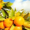 Satsuma mandalina ihracatında Rusya sevinci