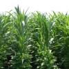 Hayvan yetiştiricileri soya fasulyesine destek bekliyor