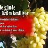 Günde 4 bin ton üzüm kesiliyor