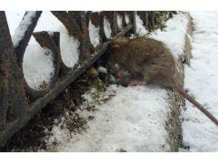 Yoğun kar fareleri öldürdü buğdayda verim aratacak.