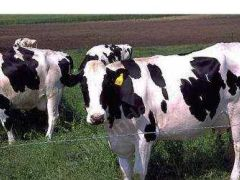 Damızlık Sığır Yetiştiriciler Birliği 250 Gebe Düve Dağıtacak.