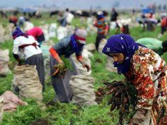 Mevsimlik Tarım İşçilerinin Ücretleri Arttı.