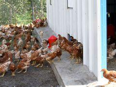 'Yumurta Tavukçuluğu'na büyük ilgi