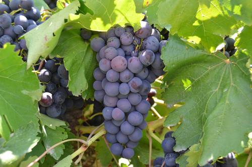 Silifke'de açıkta erkenci üzüm hasadı başladı.