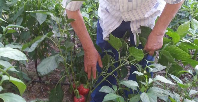 Kent Tarımı Projesi meyvelerini veriyor