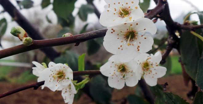 Akseki'de erik ağacı çiçek açtı