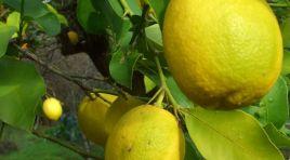 TİGEM limon satacak