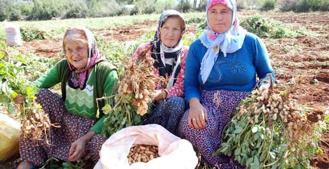 Taze yer fıstığının kilosu 6 liradan satılıyor