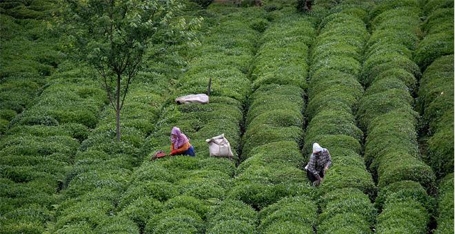 Çay bedelleri ödeniyor