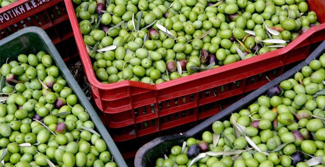 Manisa, sofralık zeytin üretiminde ikinci
