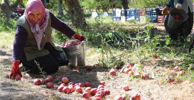 Niğde'de elma hasadı başladı