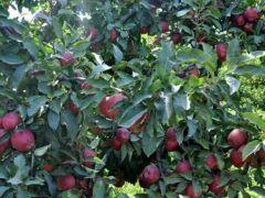 Sarıkamış'ın kırmızı yıldız elması pazar arıyor