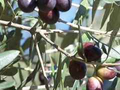 'Torbalı zeytini markalaşacak'