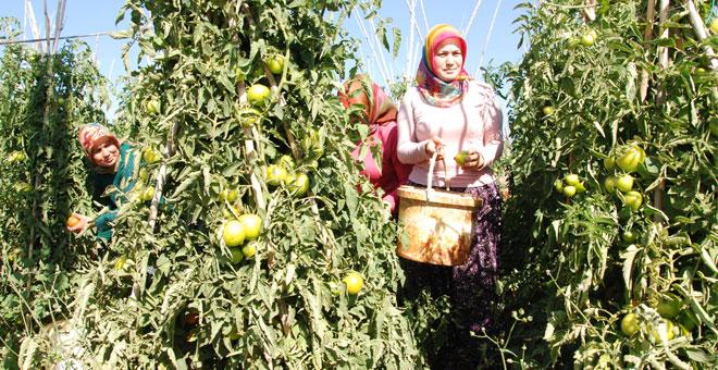 Yayla domatesi üreticisinin yüzünü güldürdü