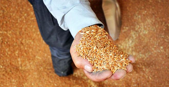 Edirne'de buğday tohumları toprakla buluştu