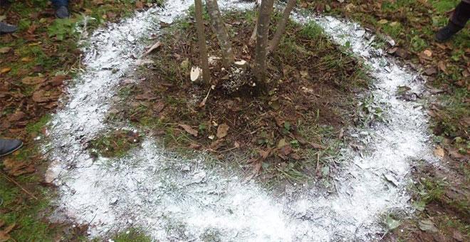 Fındık bahçelerinde kireçleme dönemi
