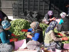 Silifke'den Irak'a bakla ihracı
