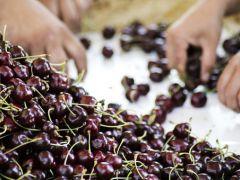 Türkiye ve Şili dünyaya kiraz ve üzüm ihraç edecek