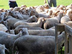 2016 yılı hayvansal üretim istatistikleri açıklandı