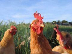 Kümes hayvancılığı üretim istatistikleri açıklandı