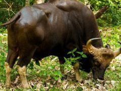 İthal sığırlar bu kez Tibet ve Hindistan'dan gelecek