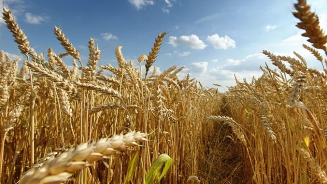 TZOB: Buğdayda hata düzeltilmeli