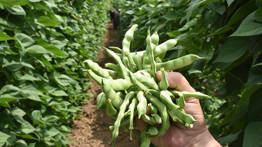 Tescilli fasulyede hasat heyecanı