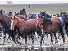 Yılkı Atları yakalayanın olacak!