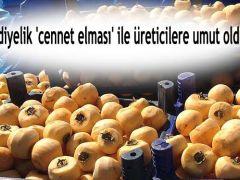 Cennet elması üreticilere umut oldu