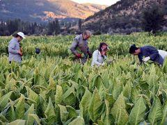 Tütünde ihracat doğuya kayıyor