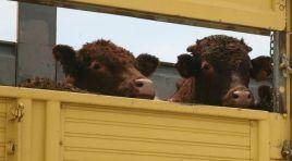 ESK 60 bin baş sığır ithal edecek