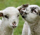 300 koyun projesinde koyunlar Nisan'da dağıtılacak