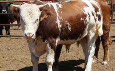 TÜİK verilerine göre kültür sığır fiyatı 2017 yılında bir önceki yıla göre yüzde 17,1 artarken, yerli sığır fiyatı yüzde 20,4 yükseldi