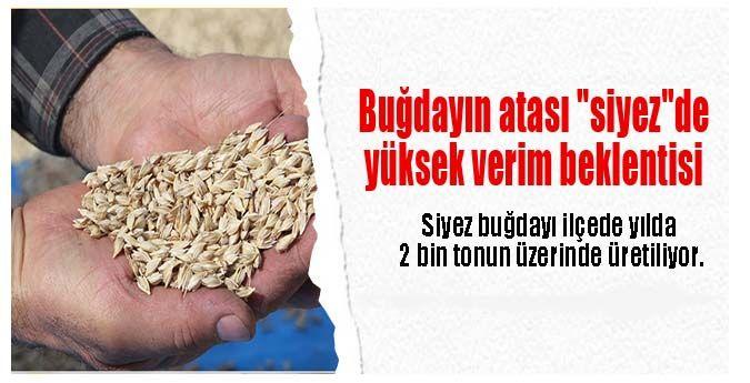 """Buğdayın Atası """"Siyez""""De Yüksek Verim Beklentisi"""