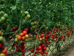 Rusya Türk domatesine sınırlamayı kaldırdı