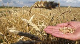 Buğday fiyatlarında kur etkisi