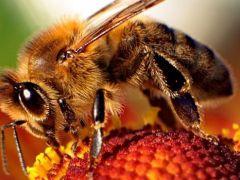 Tarım ilaçları arılarda hafıza kaybına yol açıyor.