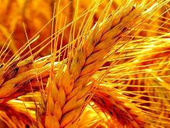Buğday üretimi tüketimi karşılıyor.