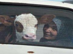 Hasta buzağıyı otomobille veterinere götürdüler.