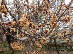 Çiçek açan meyve ağaçlarını don vurdu.