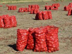 Başkent'te soğan çiftçiyi bu sene üzdü