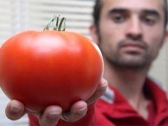 Denizli'de üretilen rekortmen domatesler Gürcistan'a gitti