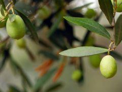 Nizip zeytini dünya sofralarında