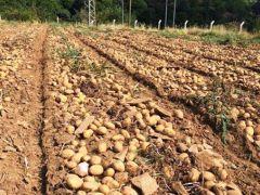 Zara'da patates hasat şenliği düzenlendi