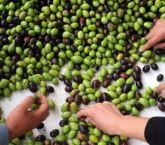 Manisa'da zeytin hasadına anıt ağaçtan başlandı