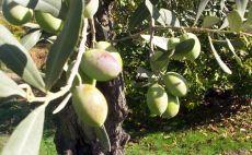 Muğla'da izinsiz kesilen 600 zeytin ağacı için 110 bin lira para cezası
