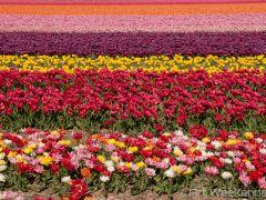 Osmaniye'de kesme çiçek üretiminde artış için devlet ve özel sektör çaba sarf ediyor.