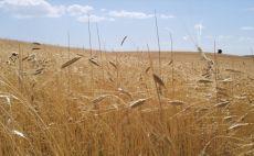 Çamoluk'ta Buğdayın Atası Siyez'in Hasadı Tamamlandı