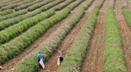 Güller diyarı Isparta'da gül kokulu sezon başladı